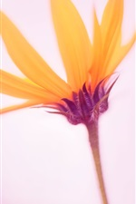 iPhone fondos de pantalla Primer plano de flor de pétalos de naranja, manzanilla