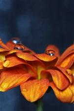 Preview iPhone wallpaper Orange petals zinnia flower close-up, water droplets