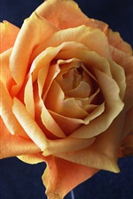 Preview iPhone wallpaper Orange rose flower close-up
