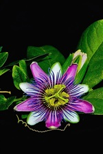 Preview iPhone wallpaper Passion flower, green leaves, black background