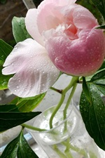 Preview iPhone wallpaper Pink peonies, green leaves, water drops