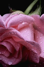 Preview iPhone wallpaper Pink rose, water drops, black background