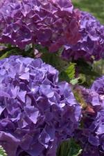 Purple hydrangea flowers, garden