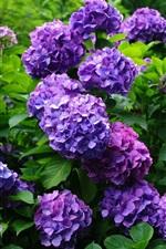 Preview iPhone wallpaper Purple hydrangea flowers