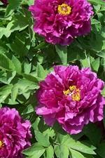 iPhone壁紙のプレビュー 紫の牡丹の花、葉、日差し
