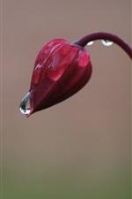 Red flower bud, rain drops