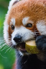Preview iPhone wallpaper Red panda eat fruit