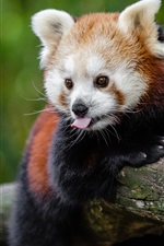 Preview iPhone wallpaper Red panda playful, tongue
