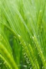 Rice field, green