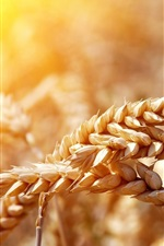 Preview iPhone wallpaper Ripe wheat, sunshine