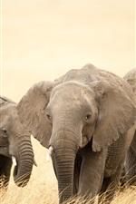 Preview iPhone wallpaper Safari, elephants, grass