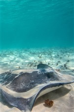 Preview iPhone wallpaper Sea animals, stingray, underwater