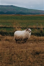 Preview iPhone wallpaper Sheep, grass, wind