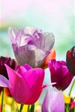Flores de primavera, tulipas coloridas