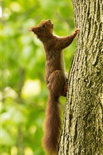 Preview iPhone wallpaper Squirrel climb tree