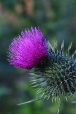 Preview iPhone wallpaper Thistle flower, thorn
