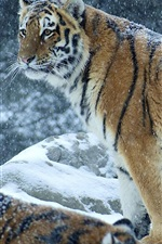 Preview iPhone wallpaper Tiger in the winter, snowy