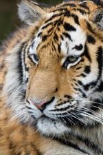 Preview iPhone wallpaper Tiger rest, look back, big cat