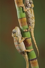 Preview iPhone wallpaper Two chameleons climb on bamboo
