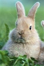 Preview iPhone wallpaper Two gray rabbits, grass, bokeh