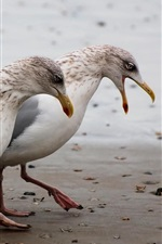 Preview iPhone wallpaper Two seagulls walk at beach