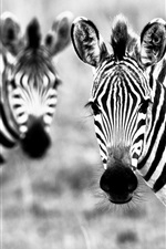 Preview iPhone wallpaper Two zebras, black and white picture