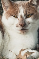 Preview iPhone wallpaper White brown cat rest