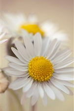 Preview iPhone wallpaper White daisies, flowers, bouquet