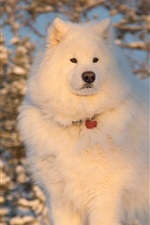 Preview iPhone wallpaper White dog, fluffy, winter, snow