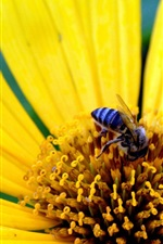 Yellow flower, petals, bee, insect