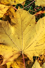 Preview iPhone wallpaper Yellow maple leaves, ground, autumn