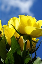 Preview iPhone wallpaper Yellow rose, blue sky