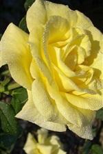 Rosa amarela, gotas de água, manhã