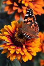 iPhone обои Цинния цветы, оранжевые лепестки, бабочка