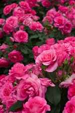 A lot of pink roses, garden