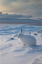 Preview iPhone wallpaper Arctic hare, Canada, snow