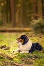 Australian shepherd dog, forest, grass