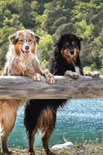 Preview iPhone wallpaper Australian shepherd dogs stand up, look, wet