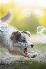 Preview iPhone wallpaper Australian shepherd play bubbles