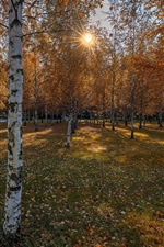 Preview iPhone wallpaper Autumn, birch trees, sunshine