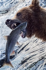Preview iPhone wallpaper Bear catch a fish, river, water, Alaska