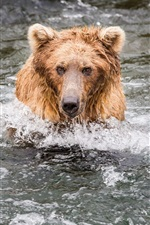 Preview iPhone wallpaper Bear fishing in the water, wet