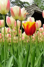 Preview iPhone wallpaper Beautiful tulips, flowers field