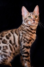 Preview iPhone wallpaper Bengal cat, black background