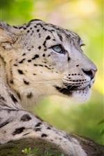 Preview iPhone wallpaper Big cat, snow leopard