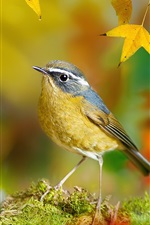 Bird in the autumn, yellow maple leaves