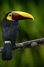 Preview iPhone wallpaper Black toucan in rain