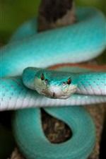 Preview iPhone wallpaper Blue Trimeresurus snake
