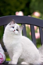 Preview iPhone wallpaper Blue eyes cat standing on bench