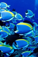 Preview iPhone wallpaper Blue fish, sea, underwater